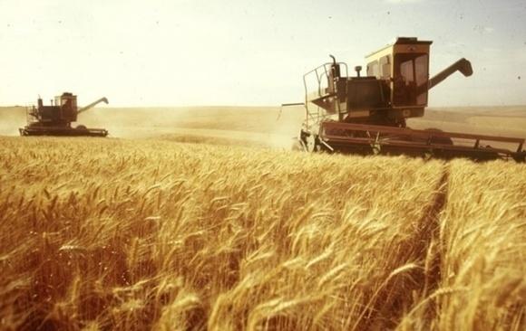 Експерти знизили прогноз урожаю зернових в Україні  фото, ілюстрація