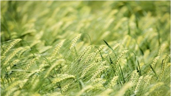 Американці запатентували новий метод біоконтролю шкідників пшениці фото, ілюстрація