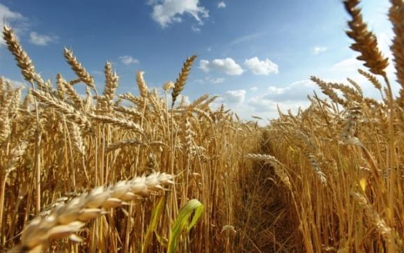 Англійські вчені знайшли альтернативу органічному удобренню зернових фото, ілюстрація