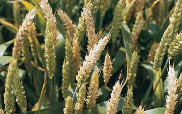 Учені створили тест для передчасного виявлення септоріозу зернових  фото, ілюстрація