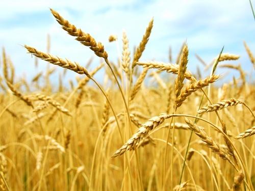 Найбільшим покупцем українських зернових в 2018 р був Єгипет фото, ілюстрація