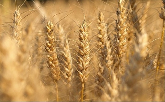 Структура посевов в Украине: ставка сделана только на три зерновые фото, иллюстрация