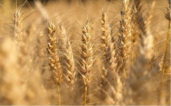 Структура посівів в Україні: ставка на три зернові фото, ілюстрація