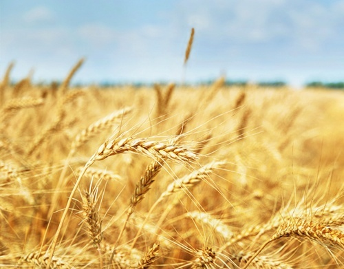 Прогноз врожаю пшениці в Євросоюзі знижений фото, ілюстрація