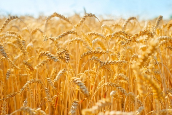 Ровенская область установила рекорд по валовому сбору зерна фото, иллюстрация