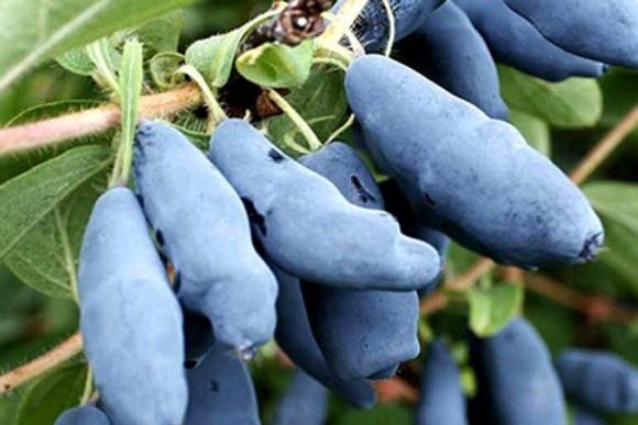 Один з найбільших українських виробників ягід шкодує, що посадив жимолость фото, ілюстрація
