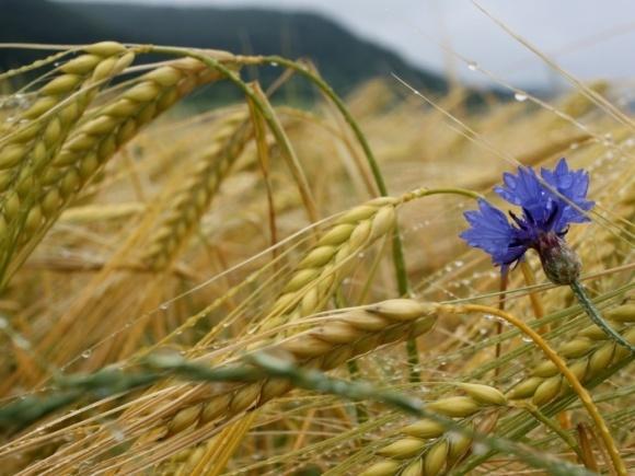 Украина импортировала рекордное количество белорусской ржи фото, иллюстрация