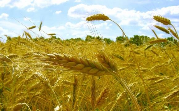 В Україні скорочується виробництво жита фото, ілюстрація
