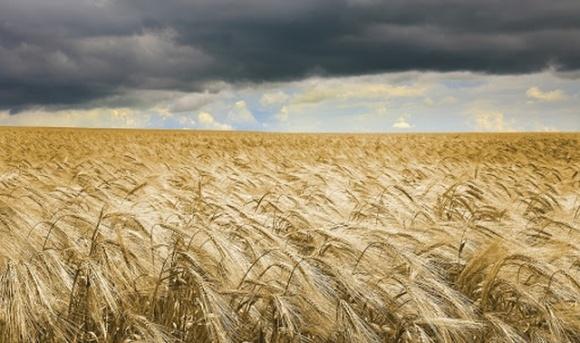 Погодні умови можуть призвести до зниження врожайності озимих зернових фото, ілюстрація