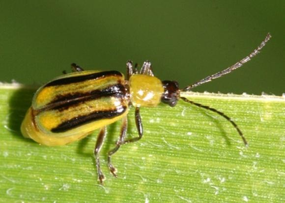 На Винничине введен карантин из-за западного кукурузного жука фото, иллюстрация