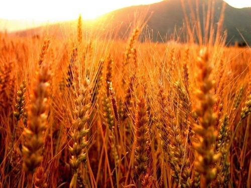 Україна збільшила експорт жита в країни ЄС фото, ілюстрація
