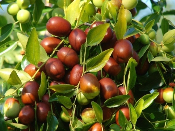 Зізіфус, хурма, азіміна та інші екзоти: на Херсонщині вирощують унікальні субтропічні дерева фото, ілюстрація