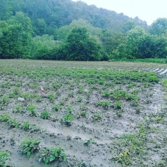 Зливи змусили пересаджувати городину фото, ілюстрація