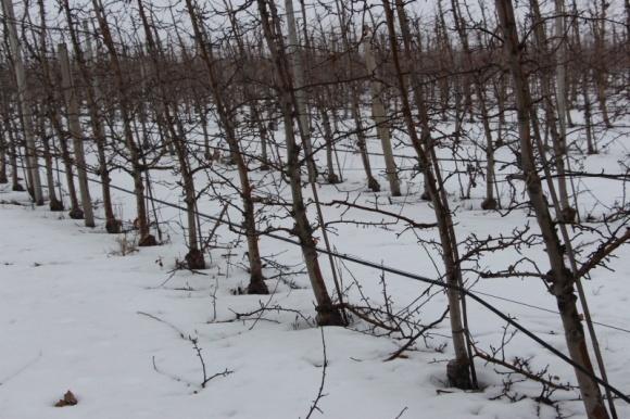 Февральские морозы повредили многолетние насаждения фото, иллюстрация