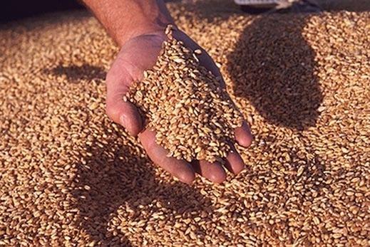 Потребление зерна в Украине сократится до минимума за последние 10 лет фото, иллюстрация