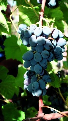 Сорт винограду Юпітер