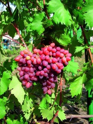 Сорт винограду Фаетон