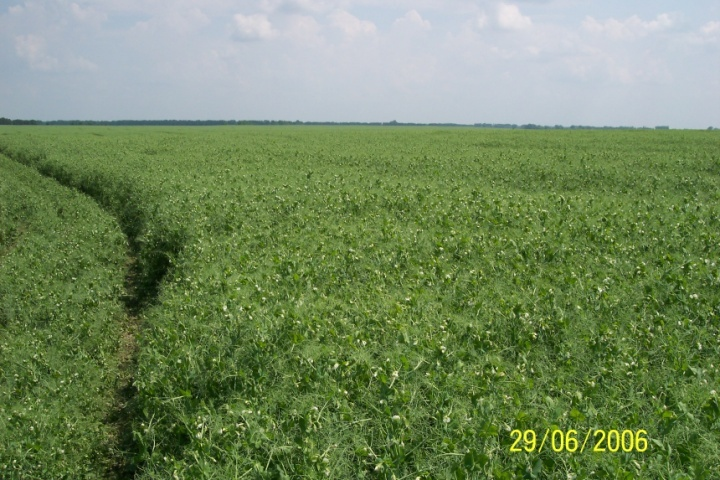 На початку вегетації горох інтенсивно розвивається та утворює вегетативну масу, яка затінює бур'яни, але пізніше ріст рослин уповільнюється, а під час дозрівання культури вони часто вилягають, що сприяє повторному забур'яненню посівів