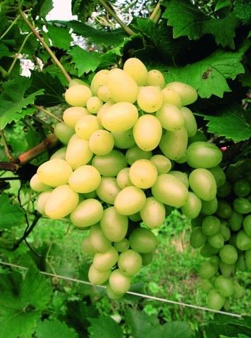 Сорт винограду Аркадія