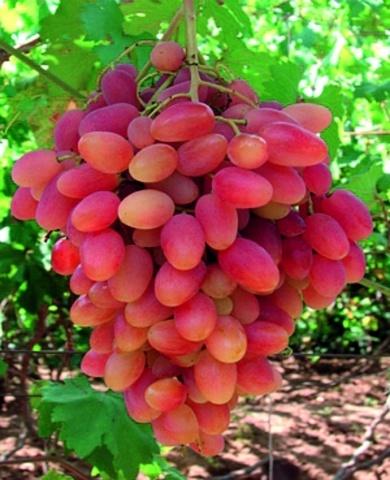 Сорт винограду Преображеніє