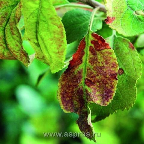 Нестача фосфору на яблуні