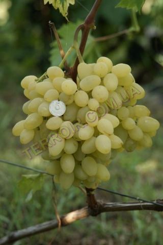 Сорт винограду Зарніца