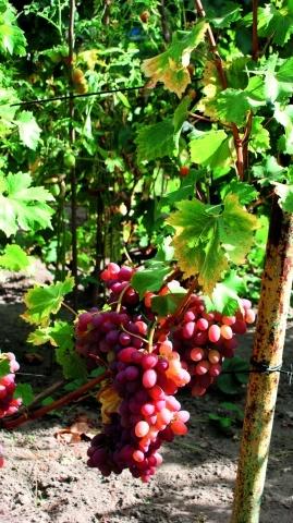 Сорт винограду Писанка