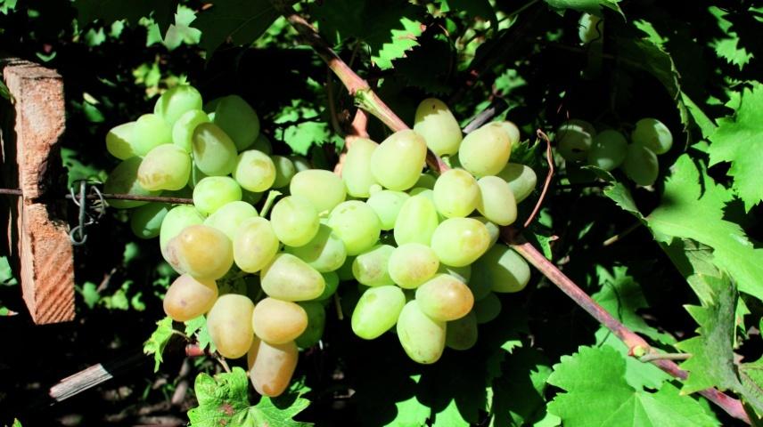 Сорт винограду Монарх