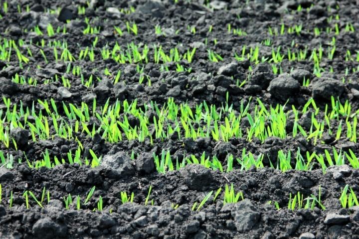 Избыток и недостаток удобрений в почве и растениях определяют гидролитическую направленность обмена веществ в растениях и, как следствие, затрудняют питание вредителей и таким образом повышают устойчивость растений