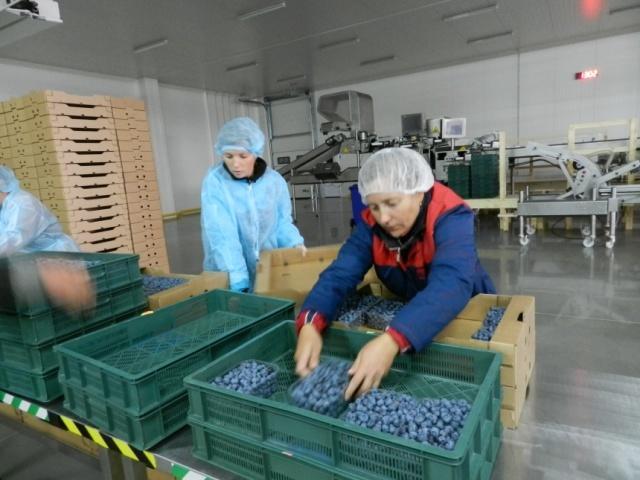 "Експорт лохини до Великобританії, ТОВ ""Бетек"""