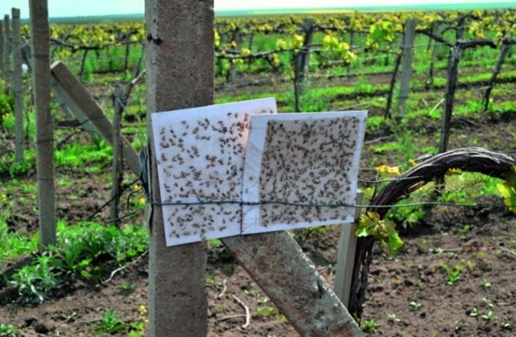 Клейові вкладки феромонної пастки у винограднику