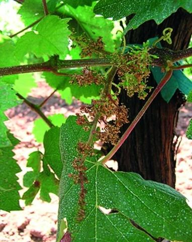 Сухе суцвіття винограду, уражене мілдью в сильному ступені