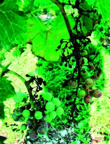 Муміфіковані ягоди винограду, уражені мілдью