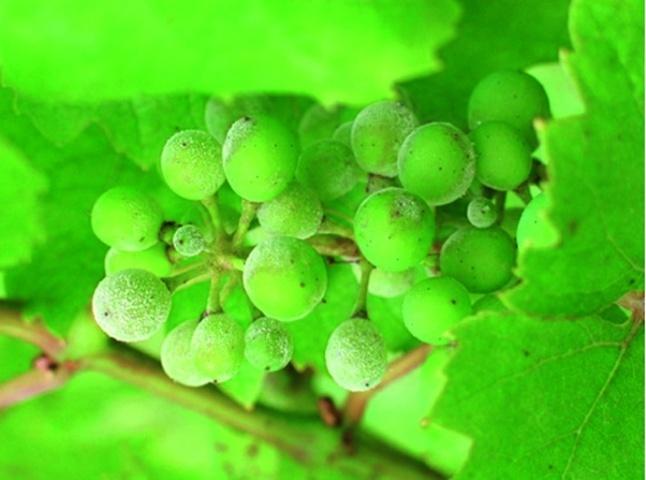 Первинні симптоми ураження ягід винограду оїдіумом