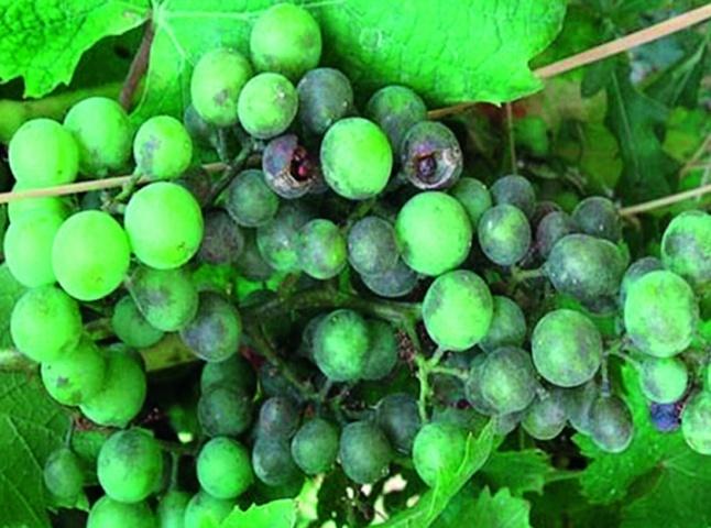 Некроз і розтріскування уражених оїдіумом ягід винограда