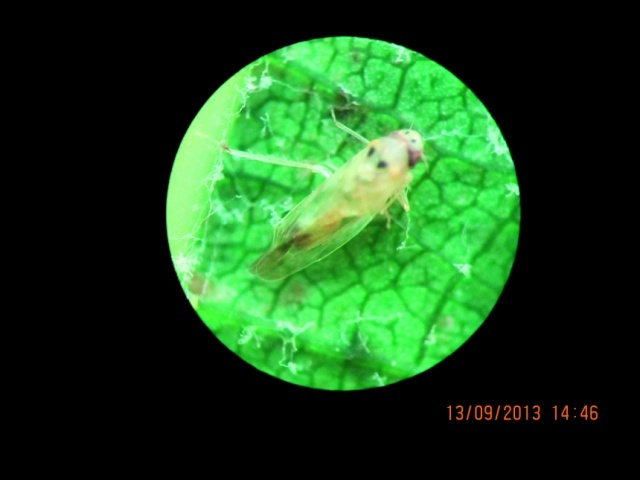 Імаго японської цикадки