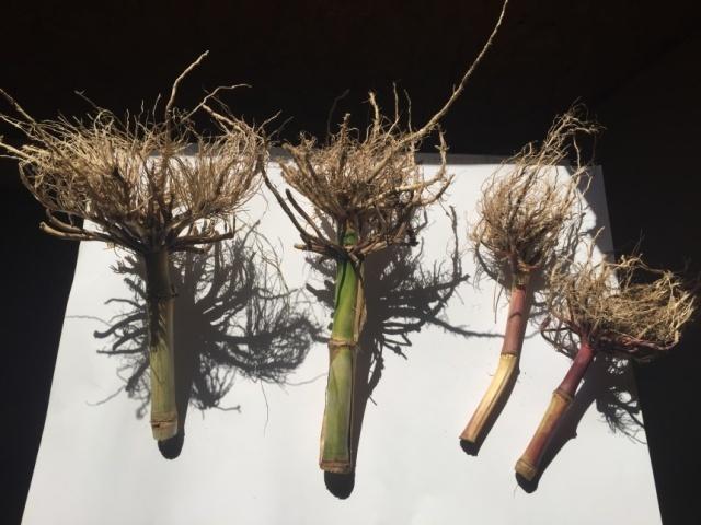 Корневая система кукурузы, обработанная СОЛЮТИНом (слева) и необработанная (справа)