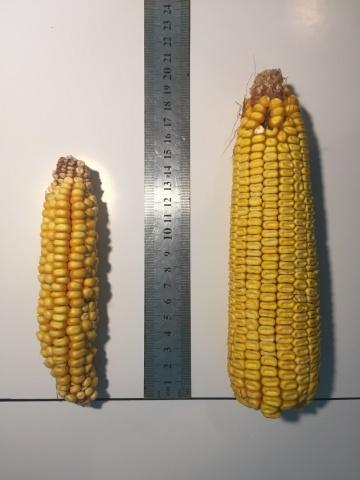 Кукуруза необработанная СОЛЮТИНом (слева) и обработанная (справа)