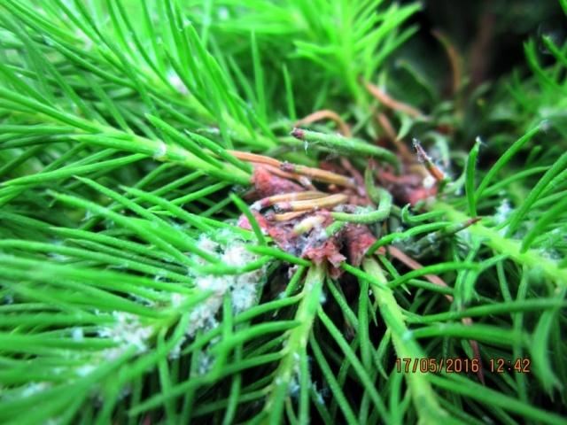 Коніка канадська заселена цикадкою меткальфою