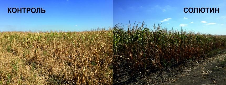 Результаты проведения обработки посевов кукурузы СОЛЮТИНом в стадии 7-9 листьев до формирования метелки