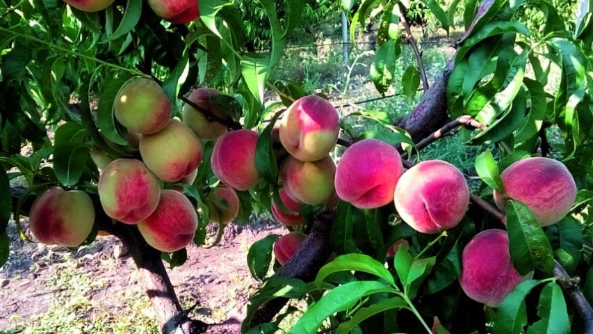 Персик Мелітопольський ясний