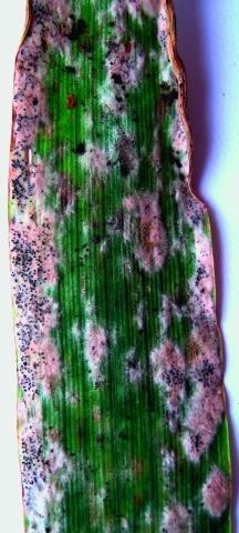 Розвиток борошнистої роси на листках падалиці озимої пшениці