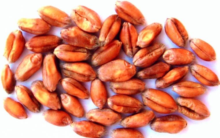 Зовнішній вигляд зерна, зібраного з ураженого колосу фузаріозом