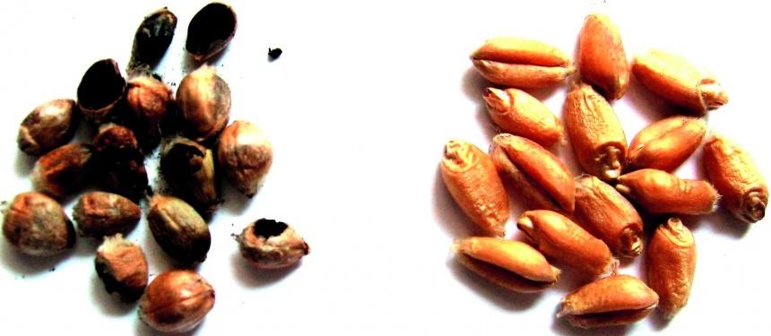 Зернівки пшениці: зліва — уражені твердою сажкою (спорові мішечки, соруси)