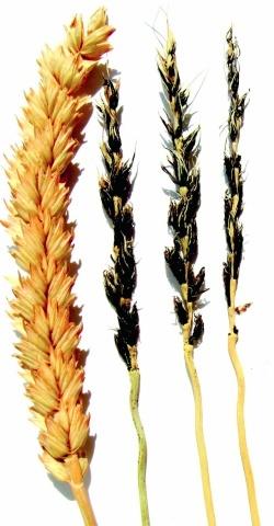 Летюча сажка пшениці: зліва — здоровий колос; справа — уражений хворобою