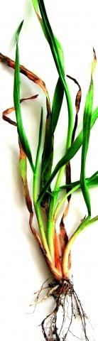 Рослина, уражена звичайною (гельмінто-споріозною) гниллю, фаза осіннього кущіння