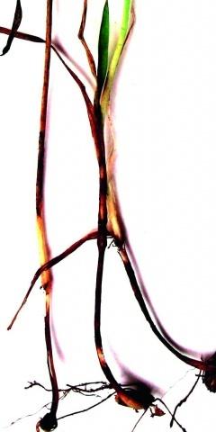 Діагностичні ознаки офіобольозної кореневої гнилі на молодих рослинах  пшениці озимої у фазі кущення