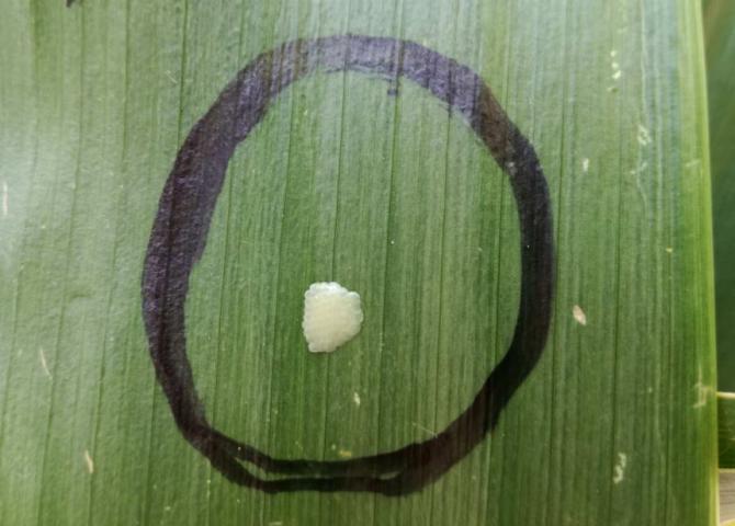 Яйцекладка кукурудзяного стеблового метелика