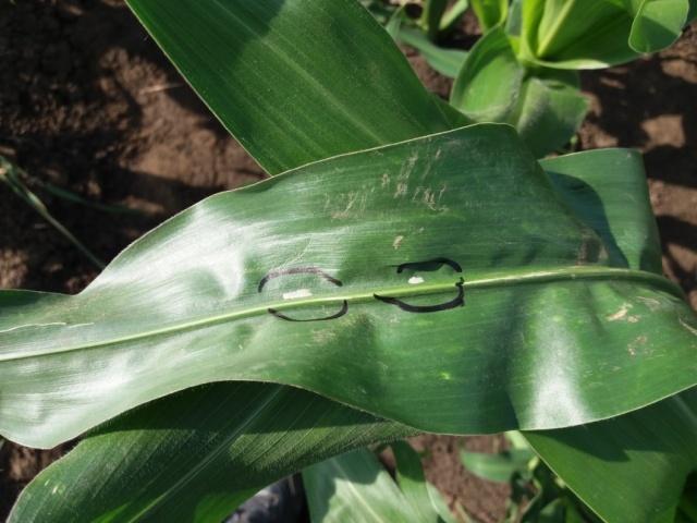 Яйцекладки кукурудзяний стебловий метелик робить з нижнього боку листка
