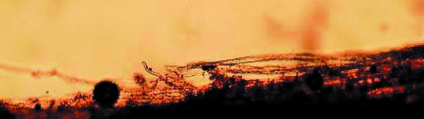 Утворення мікоризи на коренях фундука через 20 днів після обробки